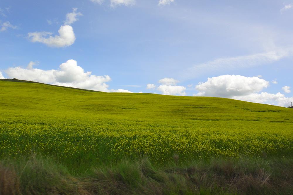 O auge da floração dos girassóis é em julho.