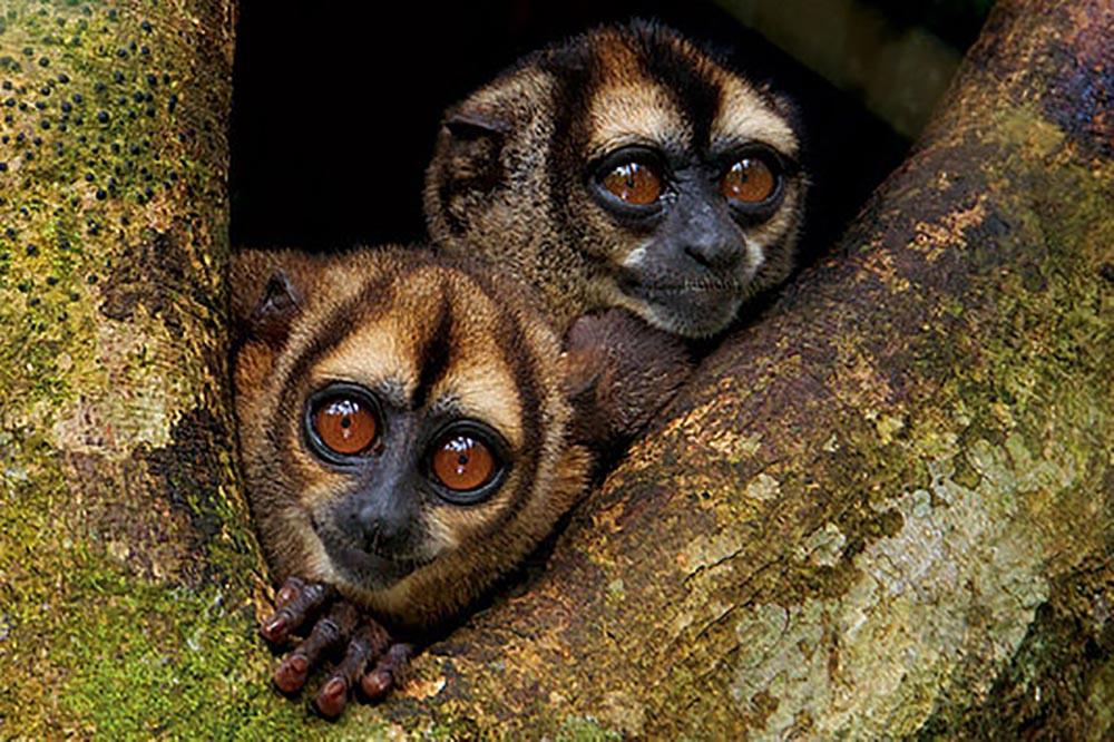 macaco da noite