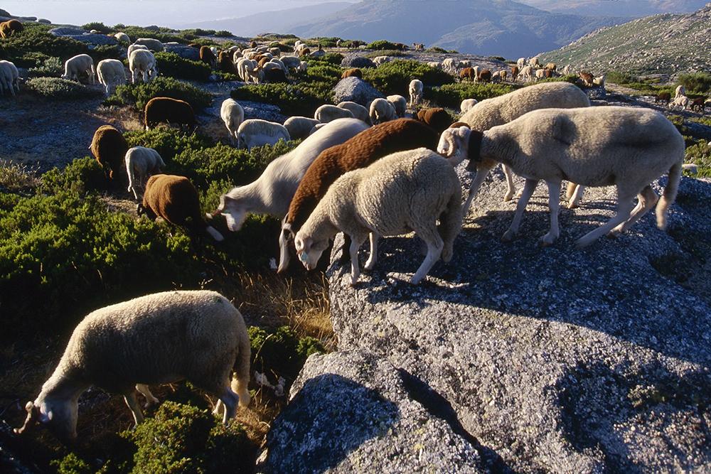 Ovelhas da raça Bordalenga produzem a matéria-prima do queijo Serra da Estrela