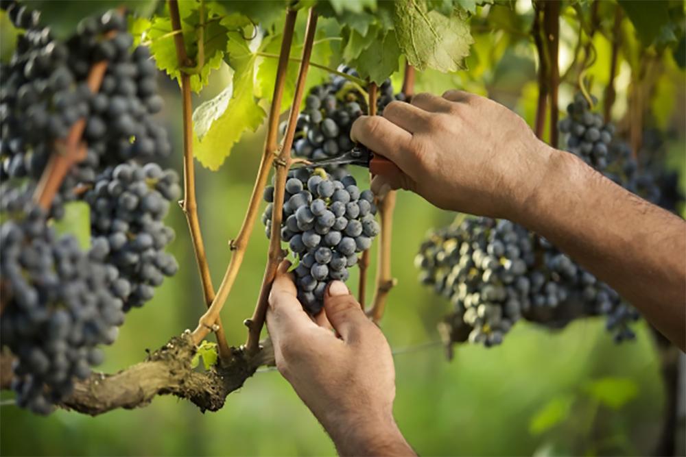 Colheita da uva na Casa Valduga