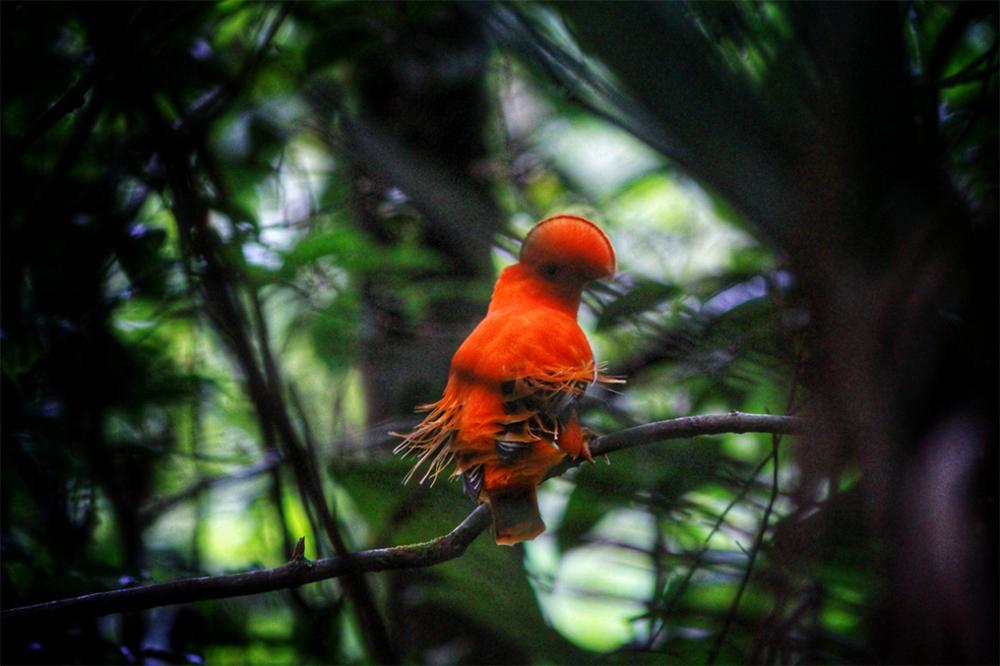 Galo da Serra - birdwatching
