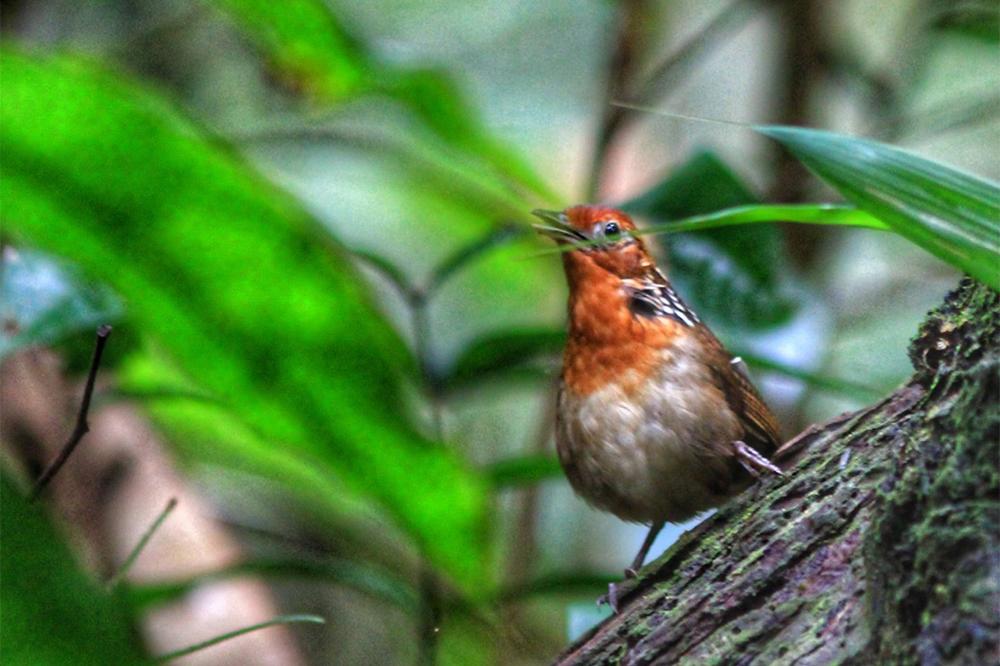 Uirapuru - birdwatching