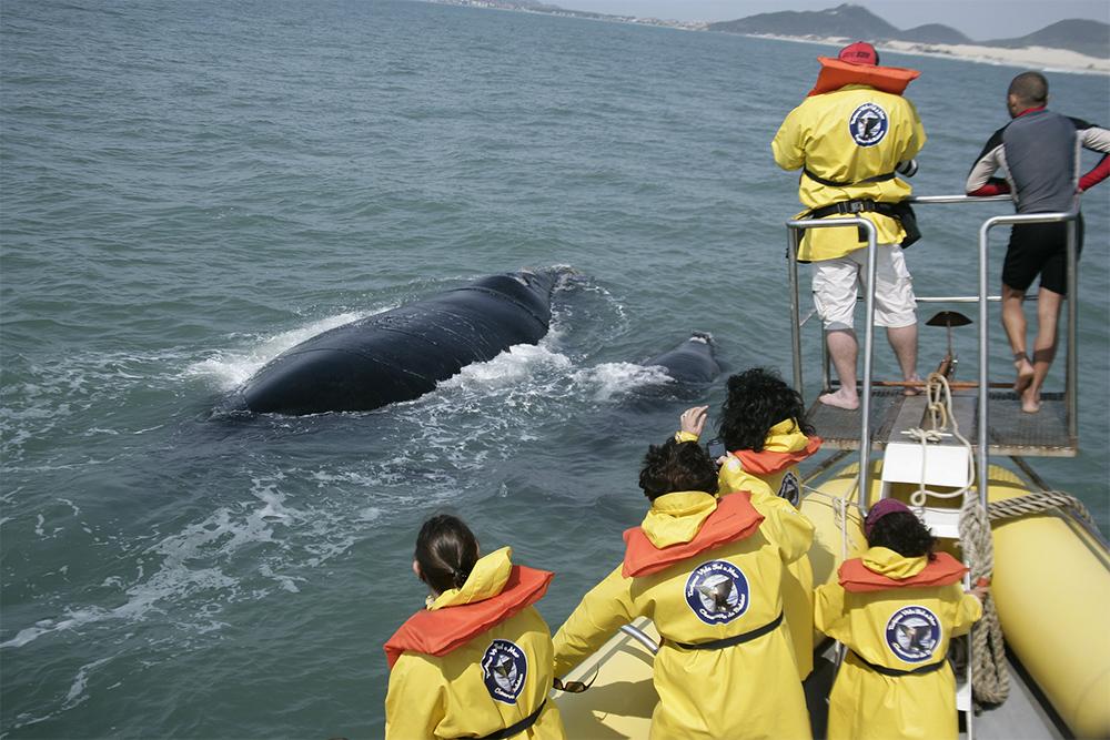 Temporada das baleias francas na Praia do Rosa, em Santa Catarina
