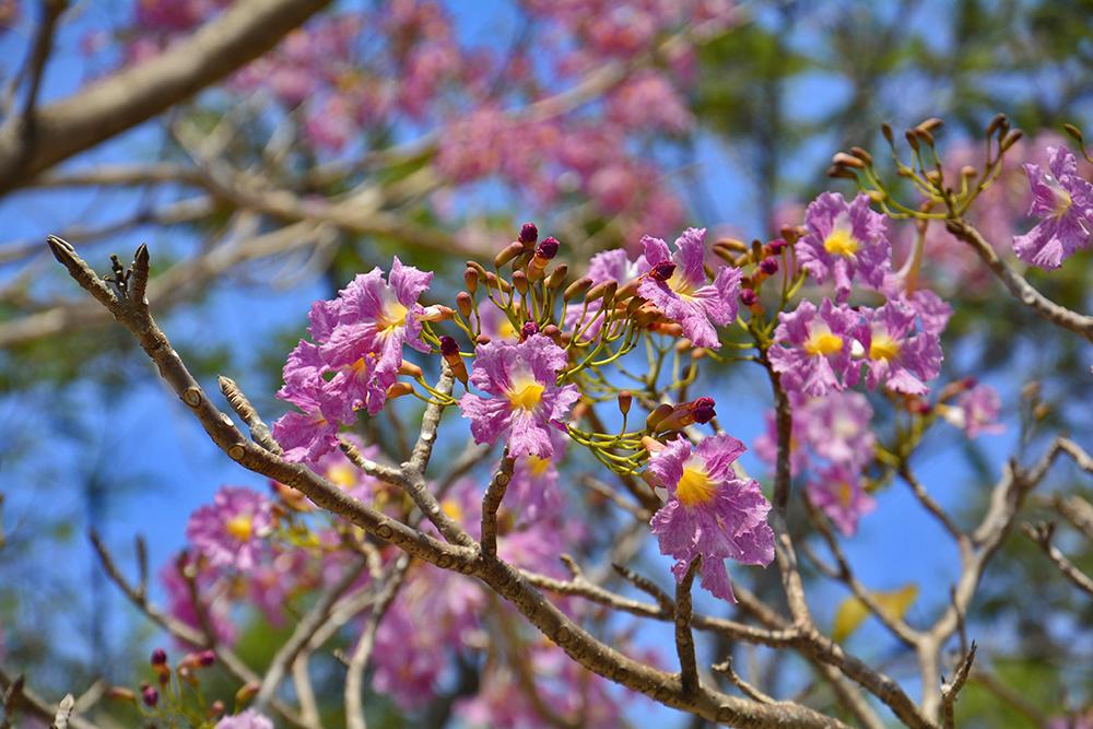 Floração de ipês em Manaus